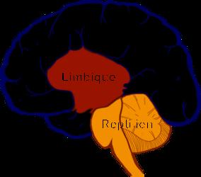 3 cerveaux 72dpi